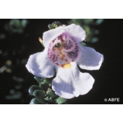 Alpine  mint  bush  -  Fatigue