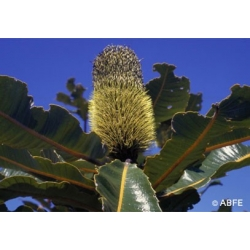Banksia  robur  -  Perte  d'énergie