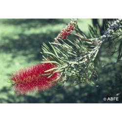 Bottlebrush  -  Lâcher  prise