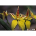 Yellow cowslip orchid - Objectivité