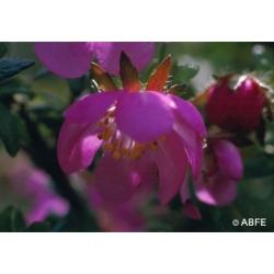 Dog  rose  -  Peurs