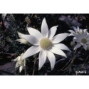 Flannel flower - Ose