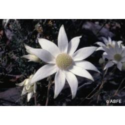 Flannel  flower  -  Ose