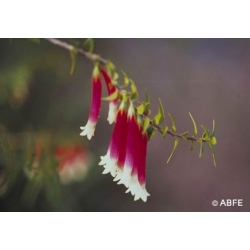 Bush  fuschia  -  Rationnel  et  intuition
