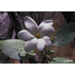 Bush  gardenia  -  Communication