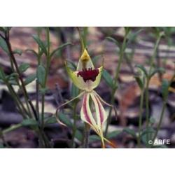 Green  spider  orchid  -  Cauchemars,  phobies
