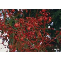 Illawarra  flame  tree  -  Abandon,  trahison