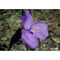 Bush iris - Eveil