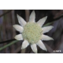 Little flannel flower - Joie