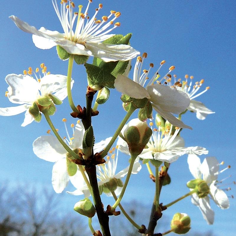 prunus-cherry-plum.jpg