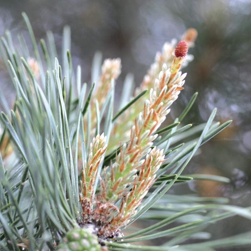 pin-pine.jpg