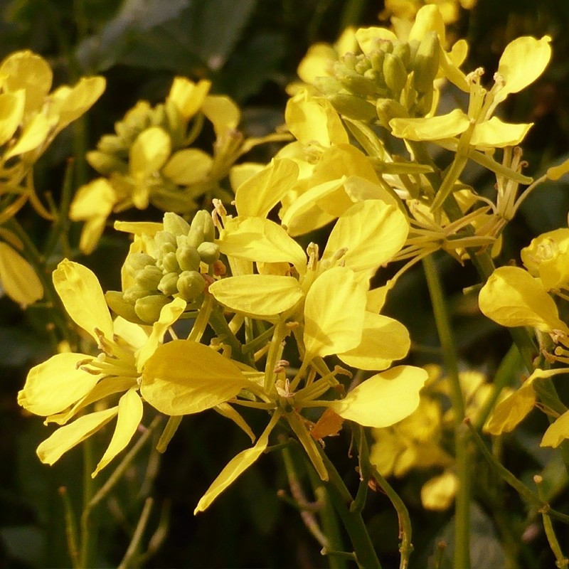 moutarde-mustard.jpg