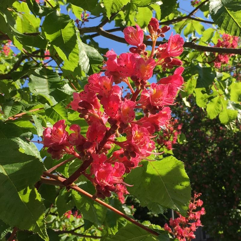 marronnier-rouge-red-chestnut.jpg
