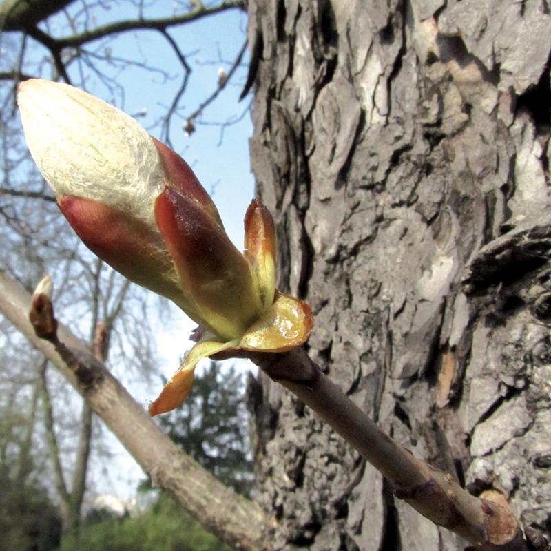 bourgeon-de-marronnier-chestnut-bud.jpg