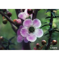 Peach-flowered  tea  tree  -  Humeur  changeante