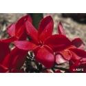Red suva frangipani - Chagrin d'amour