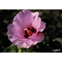Sturt desert rose - Culpabilité