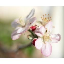 Pomme  -  Pensées  positives