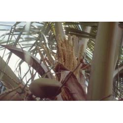 Noix  de  coco  -  Libérer  de  l'inquiétude