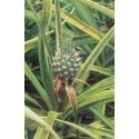 Ananas - Assurance