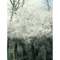 Prunus (Cherry Plum) - Angoisse