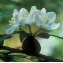 Pommier Sauvage (Crab Apple) - Traumatisme inavoué