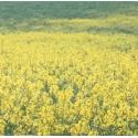 Moutarde (Mustard) - Tristesse