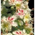 Marronnier Blanc (White Chestnut) - Préoccupations