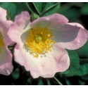 Eglantine (Wild Rose) - Apathie