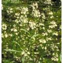 Hottonie des Marais (Water Violet) - Solitaire